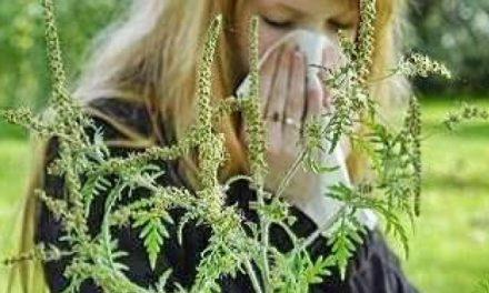 Cercetătorii din Timișoara lucrează la vaccinul care va trata alergia la ambrozie
