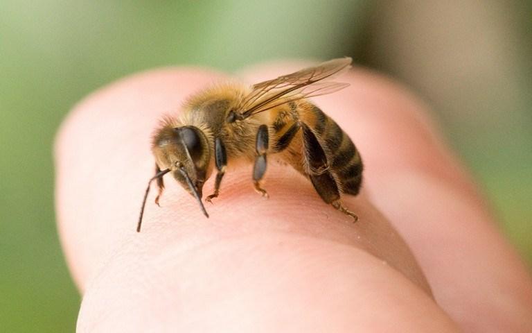 Atenție, înțepătura de albină poate fi mortală! Ce trebuie să facem pentru a nu fi atacați