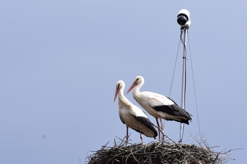 Puii berzelor din Cluj, monitorizate video, vor apărea imediat în cuib VEZI LIVE